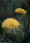 Watercolor painting on canvas of dandelions